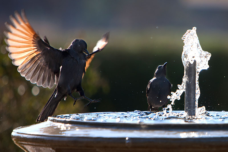 Birds bathing at a fountain by Peter Wickham