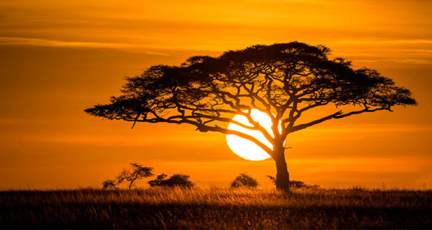 African Acacia tree against an orange sunset